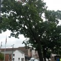 City of Bowling Green to Remove Tree