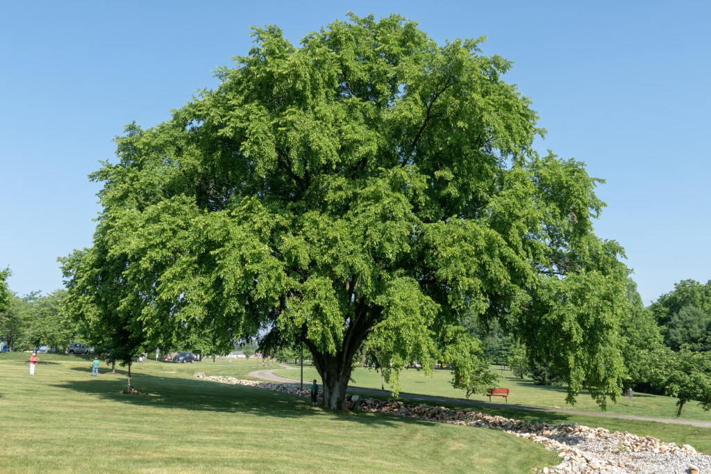 Big Trees of BG: Elm Tree at Preston Miller Park